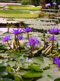 Tropical pond with lotus and giant water lilies Stock Photo