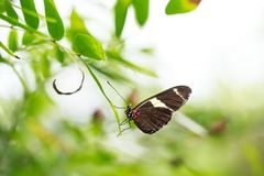 Tropical Postman butterfly Heliconius erato feeding and restin Stock Photos