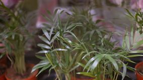 Tropical potted plants on the shelf. In supermarket stock video footage
