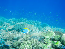 Tropical powder blue surgeonfish or blue tang against coral reef Royalty Free Stock Photo