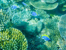 Tropical powder blue surgeonfish or blue tang against coral reef. In Maldives Royalty Free Stock Photography
