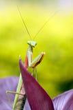Tropical praying mantis royalty free stock photography