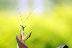 Tropical praying mantis Stock Image