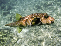 Tropical Puffer Royalty Free Stock Photos