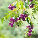 Tropical purple berries Stock Photo