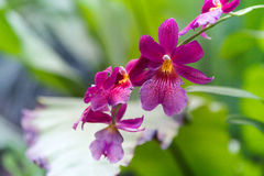 Tropical Purple orchid flower. (Burrageara Stock Images