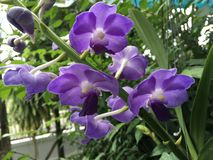 Tropical purple orchid stock image
