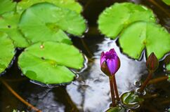 Free Tropical Purple Water Lily Bud In Lake Stock Image - 178800951