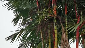 Tropical rain falling. With areca palm tree in background stock video footage