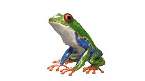 A tropical rain forest animal with vibrant eye isolated on a white background. 3d Illustration Red-Eyed Amazon Tree Frog Agalychnis Callidryas,A tropical rain Royalty Free Stock Images