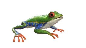 A tropical rain forest animal with vibrant eye isolated on a white background. 3d Illustration Red-Eyed Amazon Tree Frog Agalychnis Callidryas,A tropical rain Stock Photography