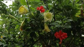 Tropical rain in the garden with red hibiscus. Wet bush, water drops on leafs stock video footage