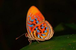 Tropical rainbow butterfly. Beautiful tropical rainforest butterfly royalty free stock photo