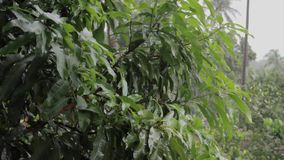 Tropical Rainfall. shallow focus on leafs stock video footage