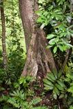 Tropical rainforest. Tree in Borneo Highland Resort. Sarawak, Borneo Island Stock Photo