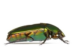 Tropical Rainforest Beetle Stock Image