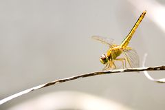 Tropical Rainforest Dragonfly Stock Images