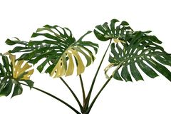 Tropical rainforest green Monstera Giant Yellow Variegated jungle leaves vine plant rare Philodendron isolated on white background royalty free stock photo
