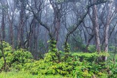 Tropical rainforest in Hawaii. Green vegetation on ground. Barren trees above. Mist in background. Tropical rainforest on Hawaii`s Big Island. Lush green stock image