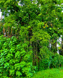 Tropical Rainforest, Heavenly Green, Hawaii Stock Image