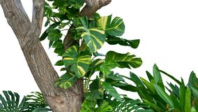 Tropical rainforest jungle tree with golden photos Australian native monstera or devil`s ivy growing isolated on white