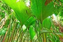 Tropical rainforest at Seychelles. Valle de Mai, Praslin royalty free stock photo