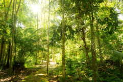 Tropical rainforest. With sunny light at State Park Kuala Rompin Pahang,Malaysia Royalty Free Stock Images