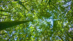 Tropical rainforest. Tops of the trees. Looking up to the canopy stock footage