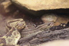 Tropical rattlesnake Royalty Free Stock Photo