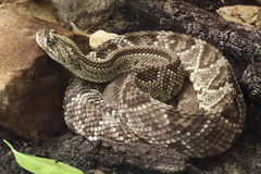 Tropical rattlesnake. (Crotalus durissus) resting on the ground Stock Photo