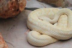 Tropical rattlesnake Stock Photo