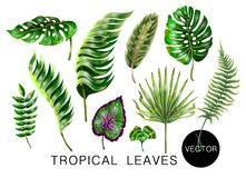 Tropical realistic palm, monstera, banana and fern leaves. Set isolated on white background. Vector illustration. Tropical realistic palm, monstera, banana and Royalty Free Stock Photography