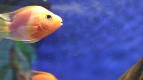 Tropical red blood parrot fishes in transparent water. Of aquariumn stock video