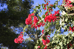 Tropical red Bougainvillea Royalty Free Stock Photos