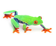 Tropical red eye treefrog isolated tree frog. Red eye treefrog tree frog crawling macro exotic curious animal bright vivid colors of tropical rain forest Costa stock photo