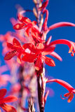 Tropical red flower against a blue sky Royalty Free Stock Image
