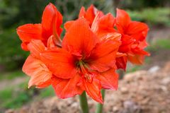 Tropical red flowers on Crete. Greece Royalty Free Stock Photos