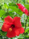 Tropical red Hibiscus flowers and green leaves. Tropical red Hibiscus flowers with yellow centers and bright green leaves royalty free stock photos