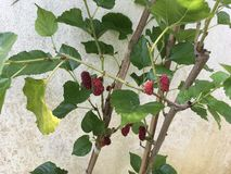Tropical red mulberry fruits. Serene peaceful green joy meditation aesthetic colourful gardendesign stock photography