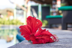 Tropical red plumeria frangipani near the swimming poll. Nusa Lembongan island, Indonesia, Asia. Stock Photography