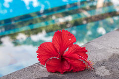 Tropical red plumeria frangipani near the swimming poll. Nusa Lembongan island, Indonesia, Asia. Royalty Free Stock Photo