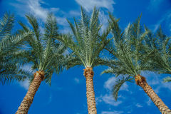 Tropical red sea palm Royalty Free Stock Photos
