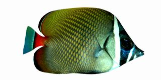 Tropical Redtail Butterflyfish Royalty Free Stock Photos