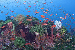 Tropical reef with anthias and crinoids. Royalty Free Stock Photos