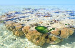 Tropical reef. A Coral Bommie  or outcrop with turtle grass clump on the reef surrounding a tropical island off the coast of Australia Royalty Free Stock Photo