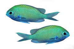 Tropical reef fish Stock Photography