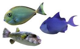 Tropical reef fish Stock Image