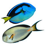 Tropical reef fish. Isolated on white background Royalty Free Stock Images