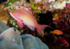 Tropical Reef Fish. Lyretail Anthias (Pseudanthias squamipinnis) also know as Blue/Purple Eye Anthias and Sea Goldie. Taken in the Andaman Sea off of Phuket stock image
