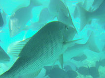 Tropical Reef Fish. Underwater photograph of reef fish on the Great barrier Reef, Australia royalty free stock images